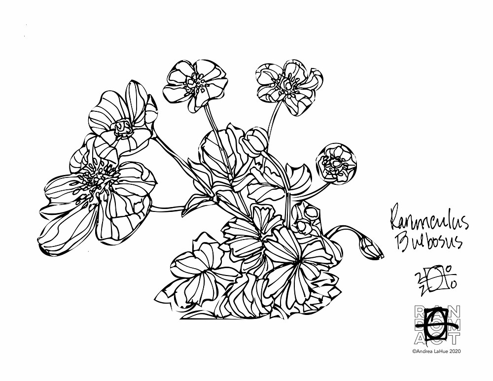 buttercup coloring page by Andrea LaHue