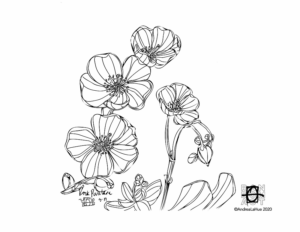 Rock Purslane coloring page by Andrea LaHue