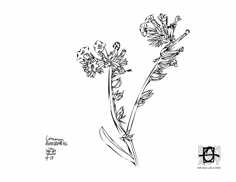 fiddleneck flower coloring page by Andrea LaHue