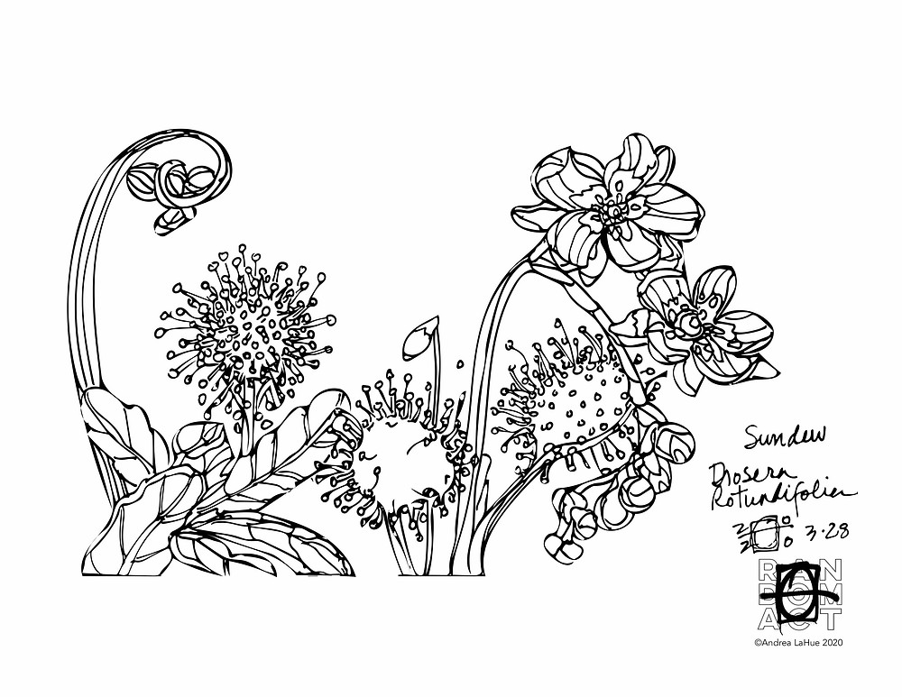 Sundew Coloring Page by Andrea LaHue