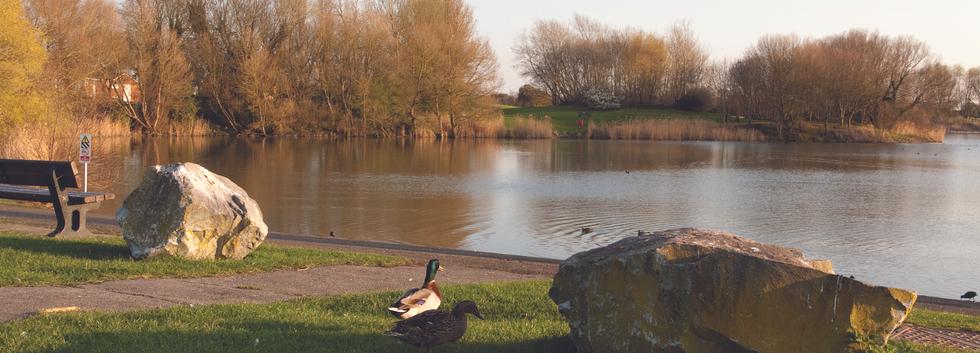 Apex Park Ducks
