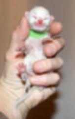 Peregrin-Nyfödd.jpg