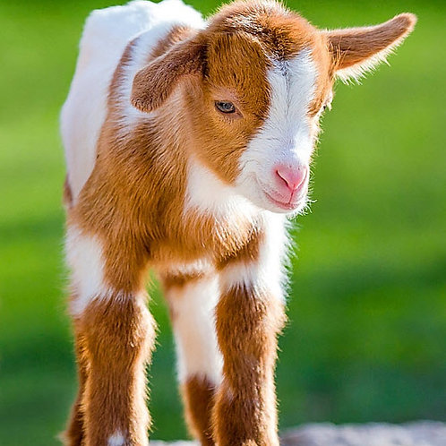 Kid-O High Performance Milk Replacer for Kid Goats