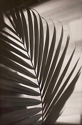 Silver Gelatin Postcard - Sugar Palm