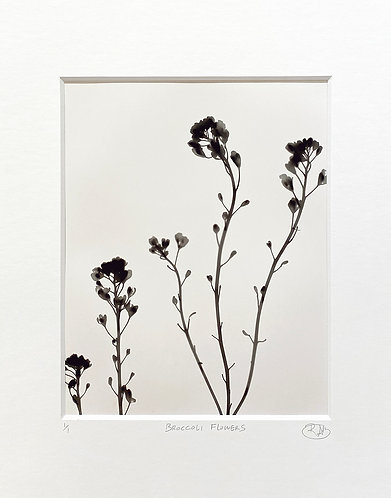 Broccoli Flowers (light) - Photogram
