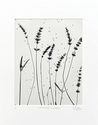 Lavender Flowers (light) - Photogram