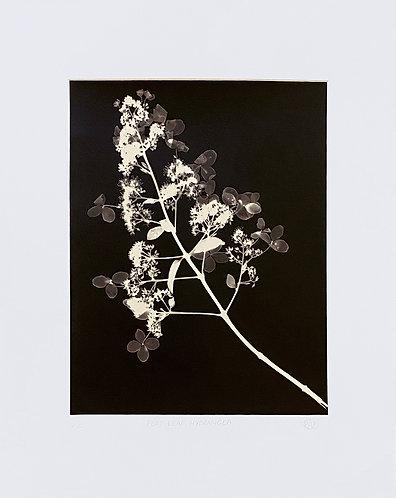 Flat Leaf Hydrangea (dark) - Large Photogram
