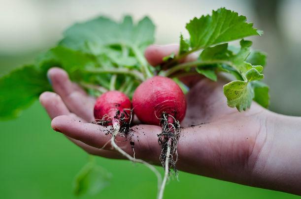 Farmer's hand holding radish