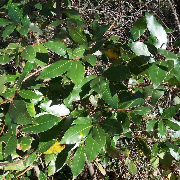 Alloro (Laurus nobilis).