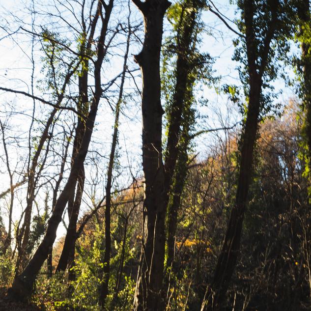Tronchi di carpini bianchi (Carpinus betulus).