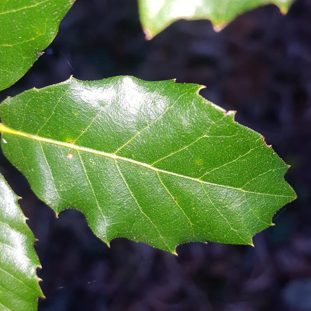 Particolare delle foglie del leccio con margine seghettato (Quercus ilex).
