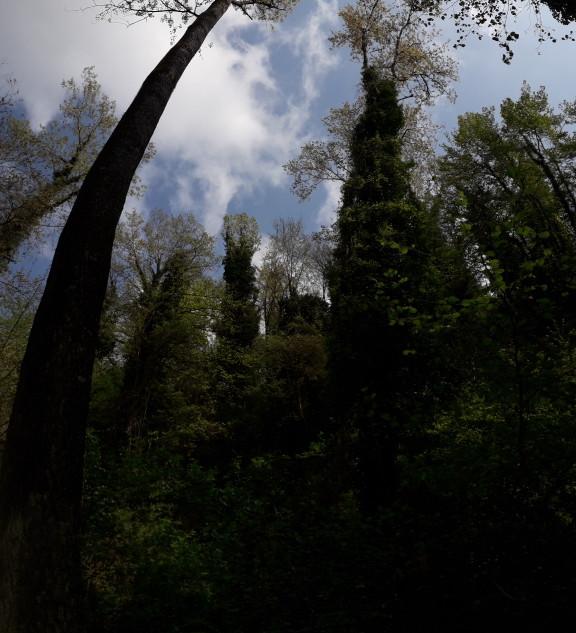 Panoramica verso l'alto di salici e pioppi del bosco igrofilo.