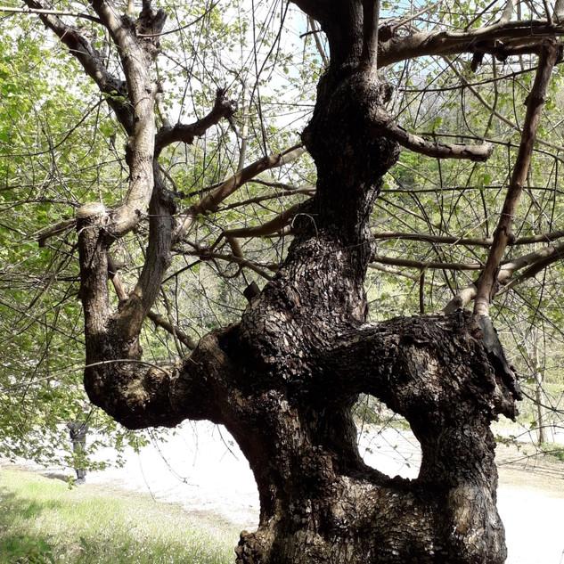 Acero campestre (Acer campestre).
