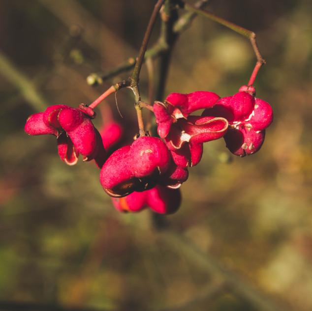 Ciò che rimane del frutto della berretta del prete (Euvonymus europaeus).