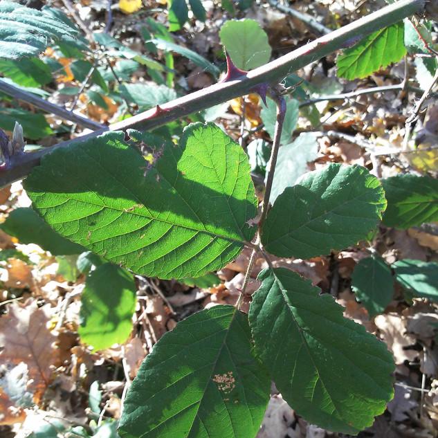 Foglia di rovo (Rubus sp.).