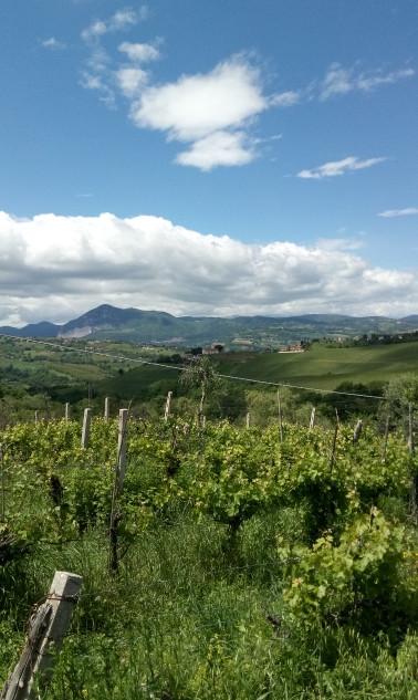 Piccolo vigneto in primo piano con vista sul Monte Murano.