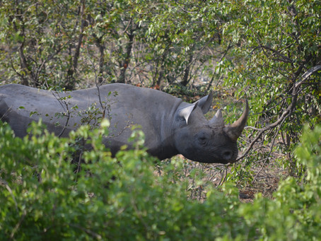 Rhino Wisdom: Overcome Obstacles