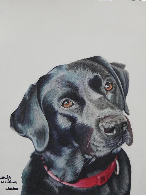 Indi the Black Labrador