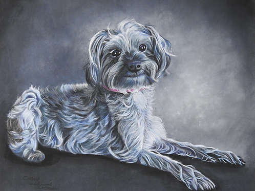 Tillypops the Yorkipoo
