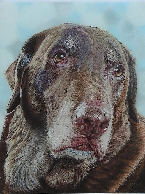 Ollie the Chocolate Labrador