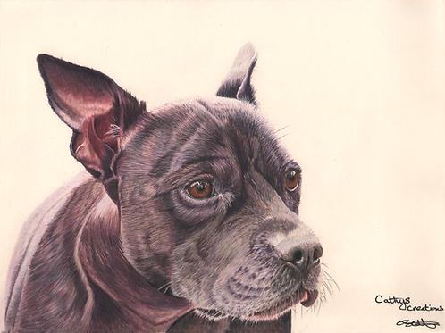 Dexter the Staffordshire Bull Terrier