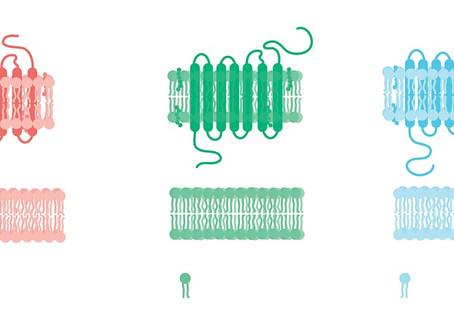 Membrana celulara-FAZELE POTENTIALULUI DE ACTIUNE
