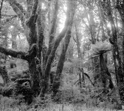 Forest, Southwestland. 2019