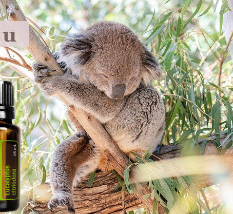 Neu im Mai: Zitronen-Eukalyptus