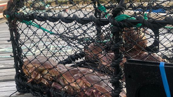 Krabbeteinene settes direkte fra flytebrygga