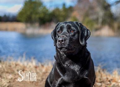 Black Labrador Retriever, Black Lab