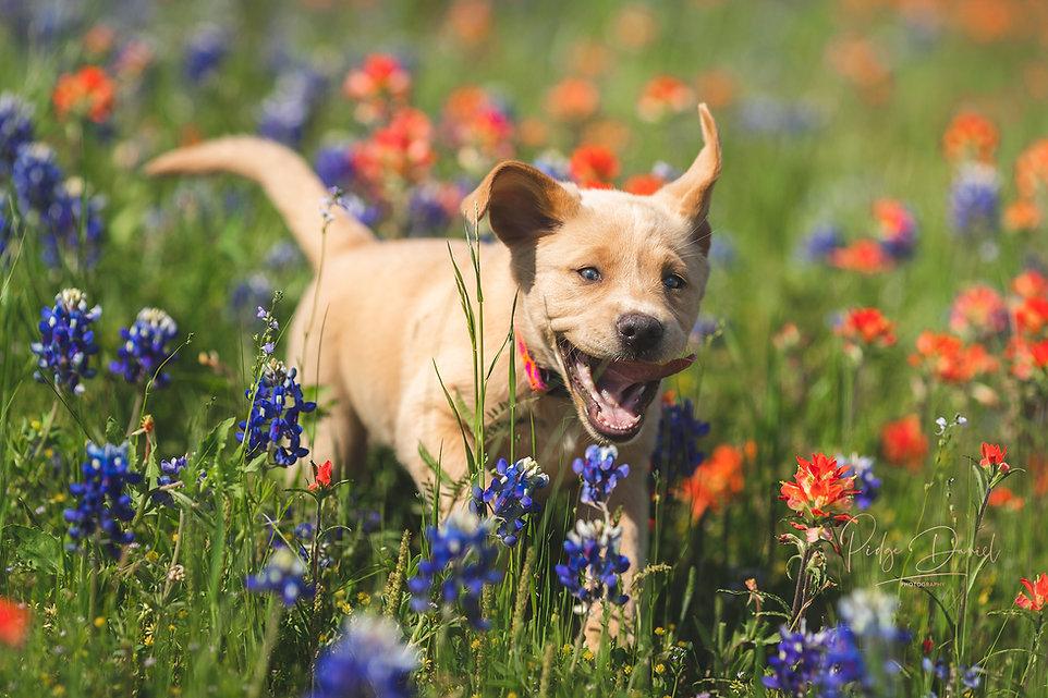 Fox Red Champagne Labrador Puppy Texas Oklahoma