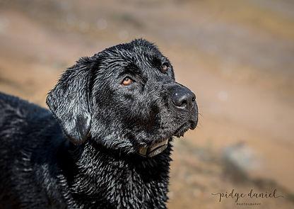 Black Lab, Black Labrador