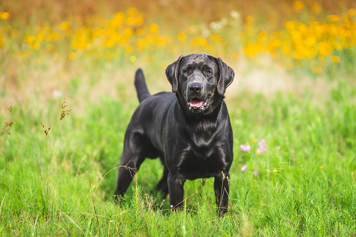 Charcoal Lab, Labrador Retriever