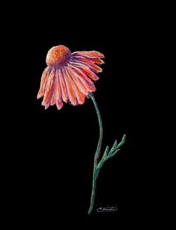 Single Pink Daisy