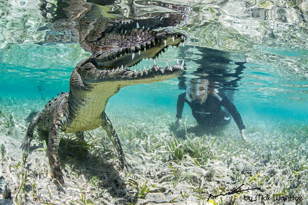 Lucky croc got to swim with Sylvia