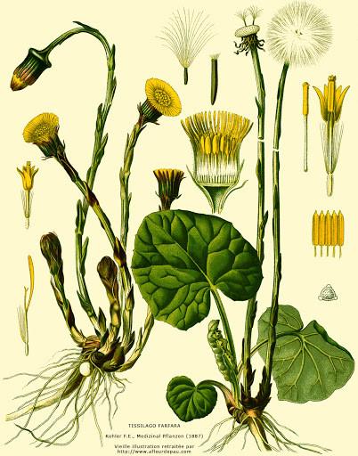 Le taconnet ou tussilage, une plante médicinale qui pousse au printemps en Haute-Savoie.