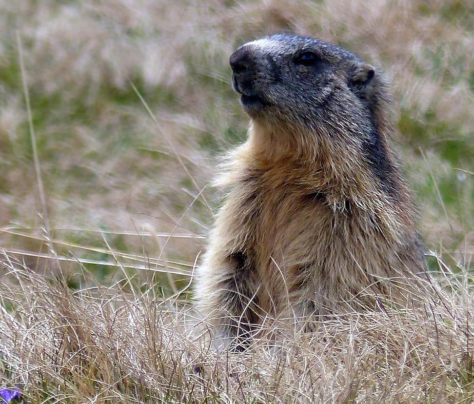 Les marmottes du Praz de Lys guettes le promeneur pour prévenir les copines.