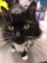 Black and white medium-sized tuxedo cat with golden eyes