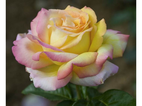 "La Rosa ""Peace"""
