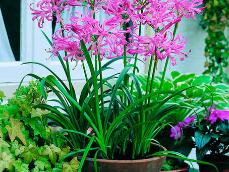 Le Nerine