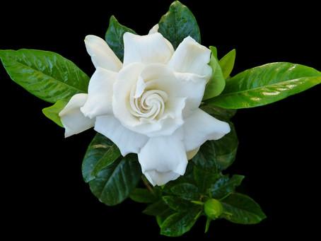 Gardenia; per un bianco Natale