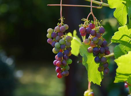 E' tempo d'uva