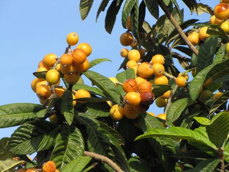Due alberi che producono frutti molto simili ma con significative differenze .