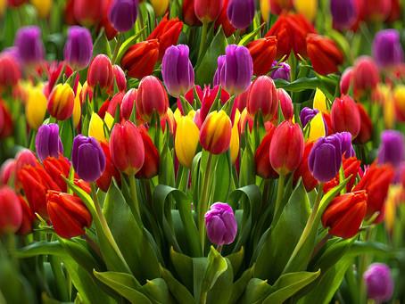 Tulipani: è il loro momento