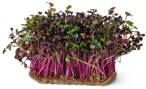 Micro green sprouts of radish isolated o
