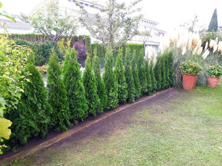 Neupflanzung einer Thuja-Hecke