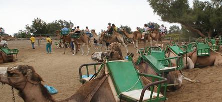 Gran Canaria Farma wielbłądów Arteara