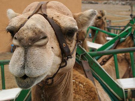 Karawana na wielbladach