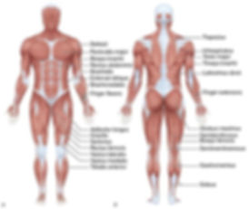 muscle front and back.jpg