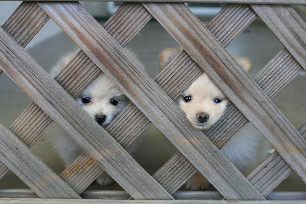 Cute-Dog-fence-picture-lattice-wood-puppy-dog-pet-protection-containment-installation in harrisburg-mechanicsburg-Camp Hill-York-Dillsburg-Enola-PA